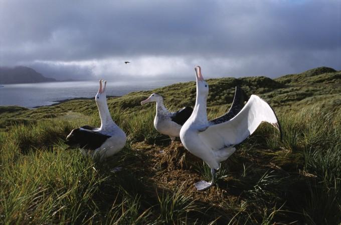 albatrosssouth_georgia_(c)_rinie_van_meurs_2