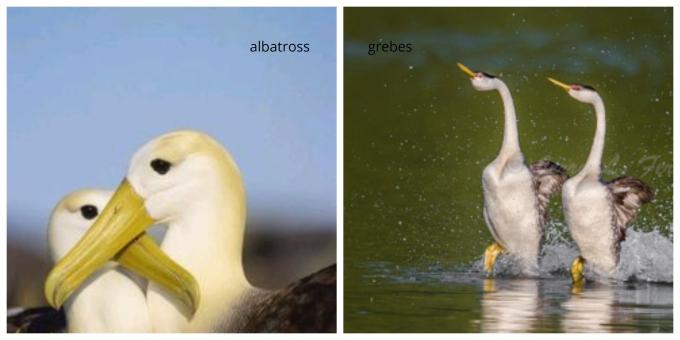 albatross, grebes