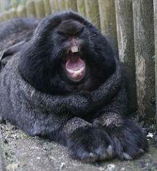 rabbit giant black rabbit 28330b662986816721590eeb6446cda8--big-bunny-bunny-bunny